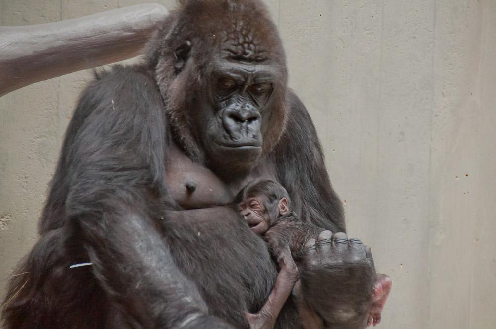 Gorilla-Mutter Joas mit Gorilly-Baby / Zoo Basel, 2015