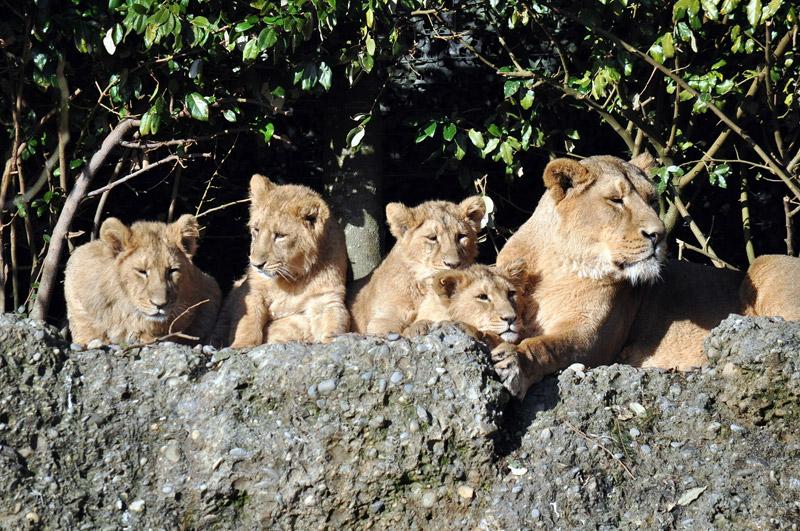 Löwin mit vier jungen Löwen / Zoo Zürich