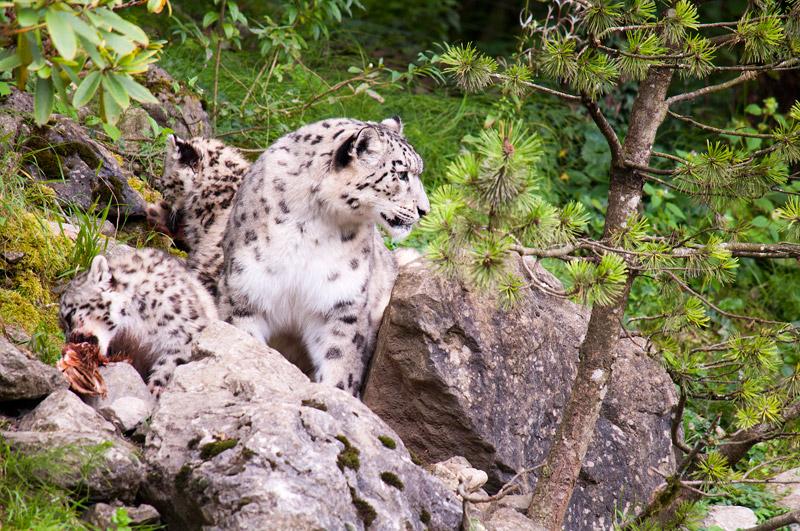 Schneeleopart mit zwei Jungtiere / Zoo Zürich 2014