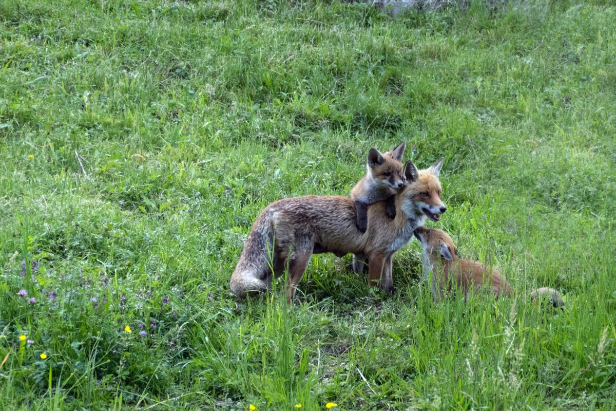 Fuchsfamilie-DSC_5061